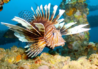 Lionfish spines